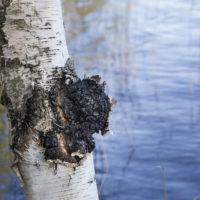 Sienistä hyvinvointia! Kääpä Biotech vie maailmalle suomalaisia sieniuutteita